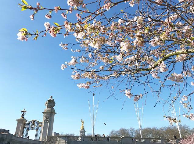 バッキンガム宮殿と桜