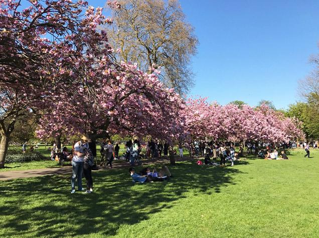 グリニッジ・パークの桜並木