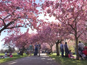 グリニッジ・パークの桜