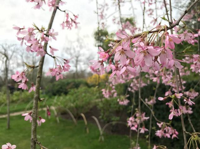 ホランド・パークのしだれ桜