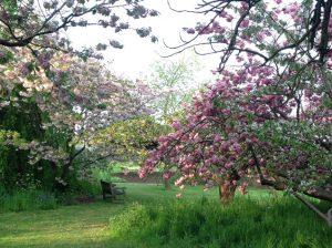 キュー・ガーデンズの桜