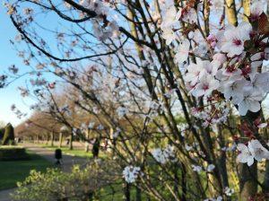リージェンツ・パークの桜