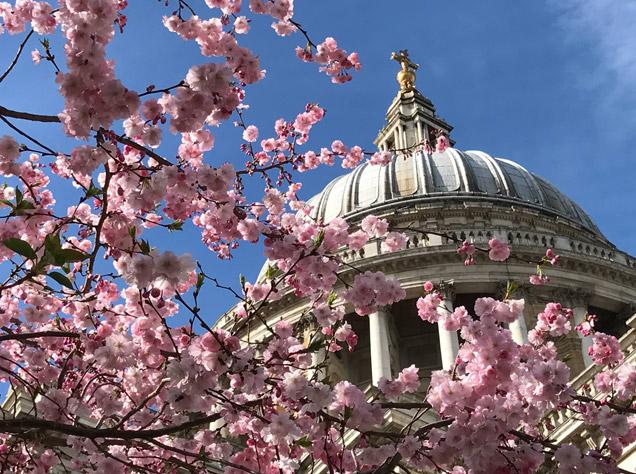 セントポール大聖堂と桜