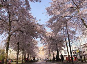 Swiss Cottage 桜