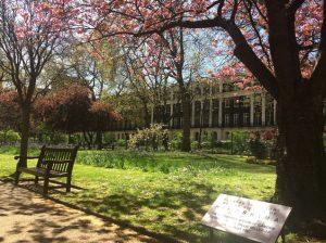 タヴィストック広場の桜