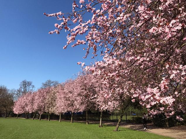 ヴィクトリア・パークの桜並木