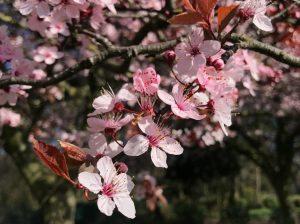 ヴィクトリア・パークの桜