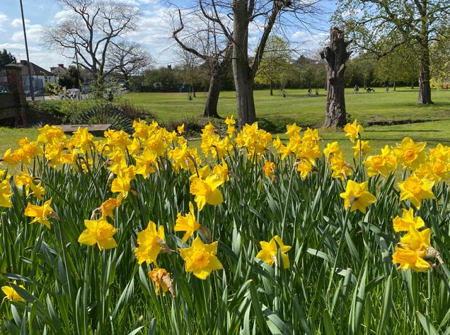 公園に咲くdaffodils(ラッパズイセン)
